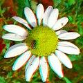 Flickr - jimf0390 - JimF 05-26-12 0004a fly on daisy.jpg