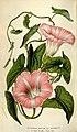 Flore des serres et des jardins de l'Europe (8595873042).jpg