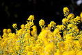 Flower, Rapeseed - Flickr - nekonomania.jpg