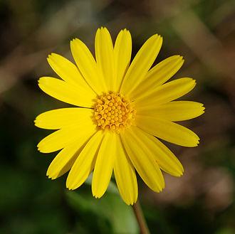 Calendula - Image: Flower 2007 3