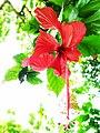 Flower Hibiscus.jpg