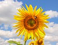 Flower sunflower (Helianthus L.) in summertime (36010761186).jpg