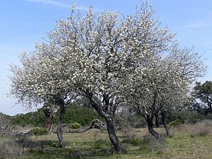 Pyrus bourgaeana - Flowering Iberian pear group in the Doñana National Park (SW Spain)