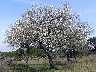 <i>Pyrus bourgaeana</i> species of plant