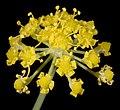 Foeniculum vulgare - Flickr - Kevin Thiele.jpg