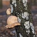 Fomitopsis betulina Bytom Poland.jpg