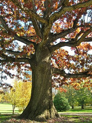 "Bushnell Park - ""The Footguard Oak"" - a descendent of The Charter Oak"