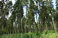 Forêt d'Eawy résineux.JPG