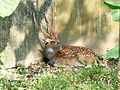 Formosan Sika Deer Rest beside Wall in Taipei Zoo 20131002.jpg