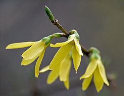 Forsythia close-up (aka).jpg