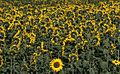 Fotothek-df ge 0000066-Sonnenblumen im Oderbruch.jpg