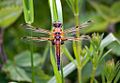 Four Spotted Chaser Dragonfly (7262169226).jpg