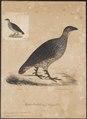 Francolinus erckelii - 1835 - Print - Iconographia Zoologica - Special Collections University of Amsterdam - UBA01 IZ17100037.tif