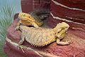 Frankfurt Zoo - Inland bearded dragon 2.jpg