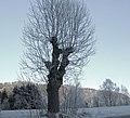 Fraxinus excelsior - Kyllet asketre.jpg