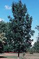 Fraxinus nigra NRCS-3.jpg