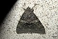 French red underwing (NH266) (37930257866).jpg