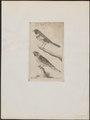 Fringilla gebleri - 1772-1829 - Print - Iconographia Zoologica - Special Collections University of Amsterdam - UBA01 IZ16000089.tif