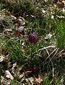 Fritillaria meleagris - Flickr - peganum (5).jpg