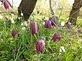 Fritillaria meleagris 121840738.jpg