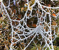 Frosted Web (5237540221).jpg