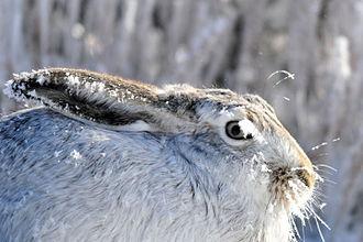 White-tailed jackrabbit - White-tailed jackrabbit in the snow at Seedskadee National Wildlife Refuge (Wyoming)