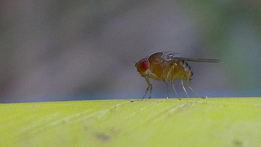 Fruit fly (7424411436)