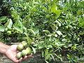 Fruto del Limón.JPG