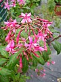 Fuchsia arborescens.jpg