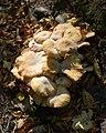 Fungi, Ffrwydgrech Road - geograph.org.uk - 2629558.jpg
