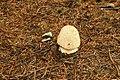 Fungus, Hillsborough Forest 08-10 - geograph.org.uk - 930009.jpg
