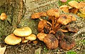 Fungus near Downpatrick - geograph.org.uk - 1042804.jpg