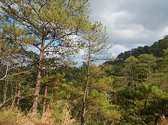Luzon tropical pine forests - A pine forest in Bokod