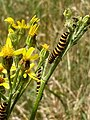 GT north bank Cinnabar Caterpillars on Ragwort.jpg