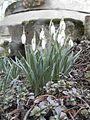 Galanthus nivalis rock garden 2.jpg