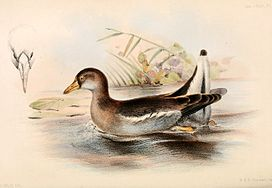 Gallinula angulata 1859.jpg