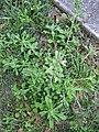 Gamochaeta pensylvanica plant11 - Flickr - Macleay Grass Man.jpg