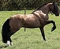 Garanhão premiado - Raça Cavalo Crioulo.jpg