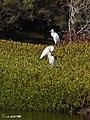 Garceta Común (Egretta garzetta)2 y 1 Garcilla bueyera (Bubulcus ibis) (3791265137).jpg