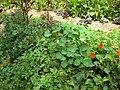 Gardenology.org-IMG 0602 bbg09.jpg