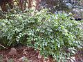 Gardenology.org-IMG 2325 ucla09.jpg