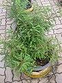 Gardenology.org-IMG 8035 qsbg11mar.jpg