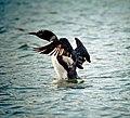Gavia immer -Pike Lake, Lanark County, Ontario, Canada-8.jpg
