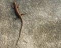 Gecko On A Wall (4260361555).jpg