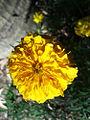 Gendu phula Marigold in Odisha.jpg