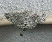 Geometridae-Ascotis.terebraria.jpg