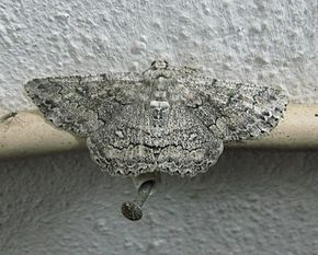 Description de l'image Geometridae-Ascotis.terebraria.jpg.