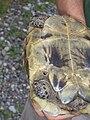 Georgische Schildkröte (von unten).jpg