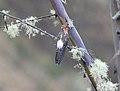 Giant Hummingbird (Patagona gigas) (9496819725).jpg