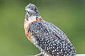 Giant Kingfisher 2338007475.jpg